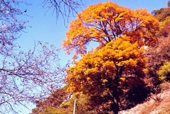华夏红红叶黄连木是如何选育出来的?